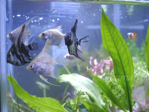 この写真は以前うちで飼っていたエンジェルちゃんたち。ミャンマー人は魚好きです。